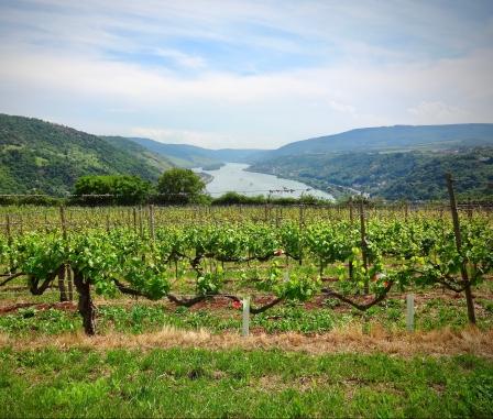 rhine-vineyards.jpg