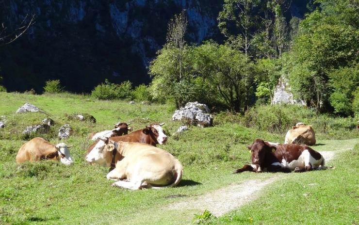 konigsee cows (1)